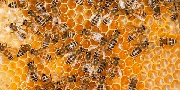 Honey-Bees (freerangela.com)